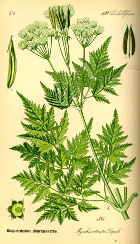 Illustration_Myrrhis_odorata0.jpg