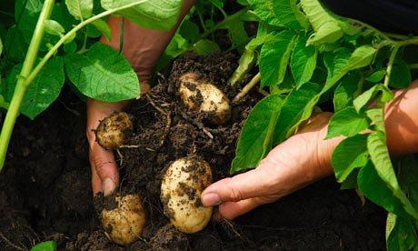 Harvesting-potatoes-006